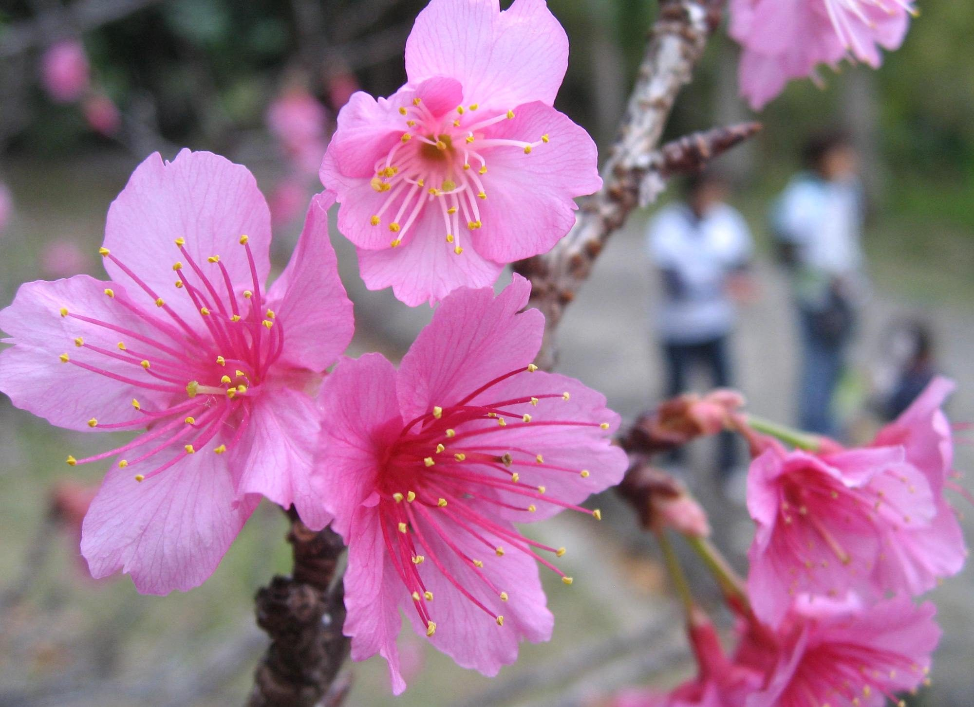 It's February, and Okinawa Is Abloom With Cherry Blossoms
