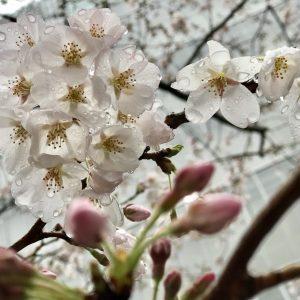 My First Sakura - Laluna