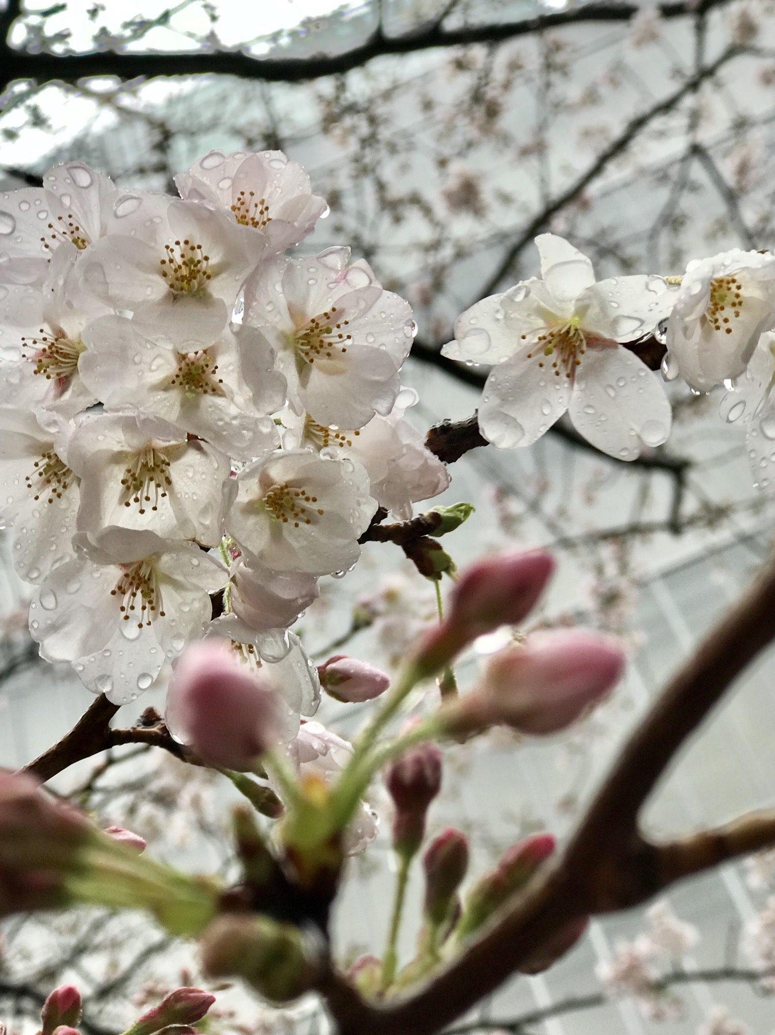 My First Sakura – Laluna