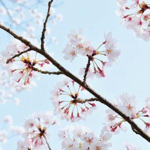 Dandelion Sakura at Awaji Island - Amy (Hai Anh Nguyen)