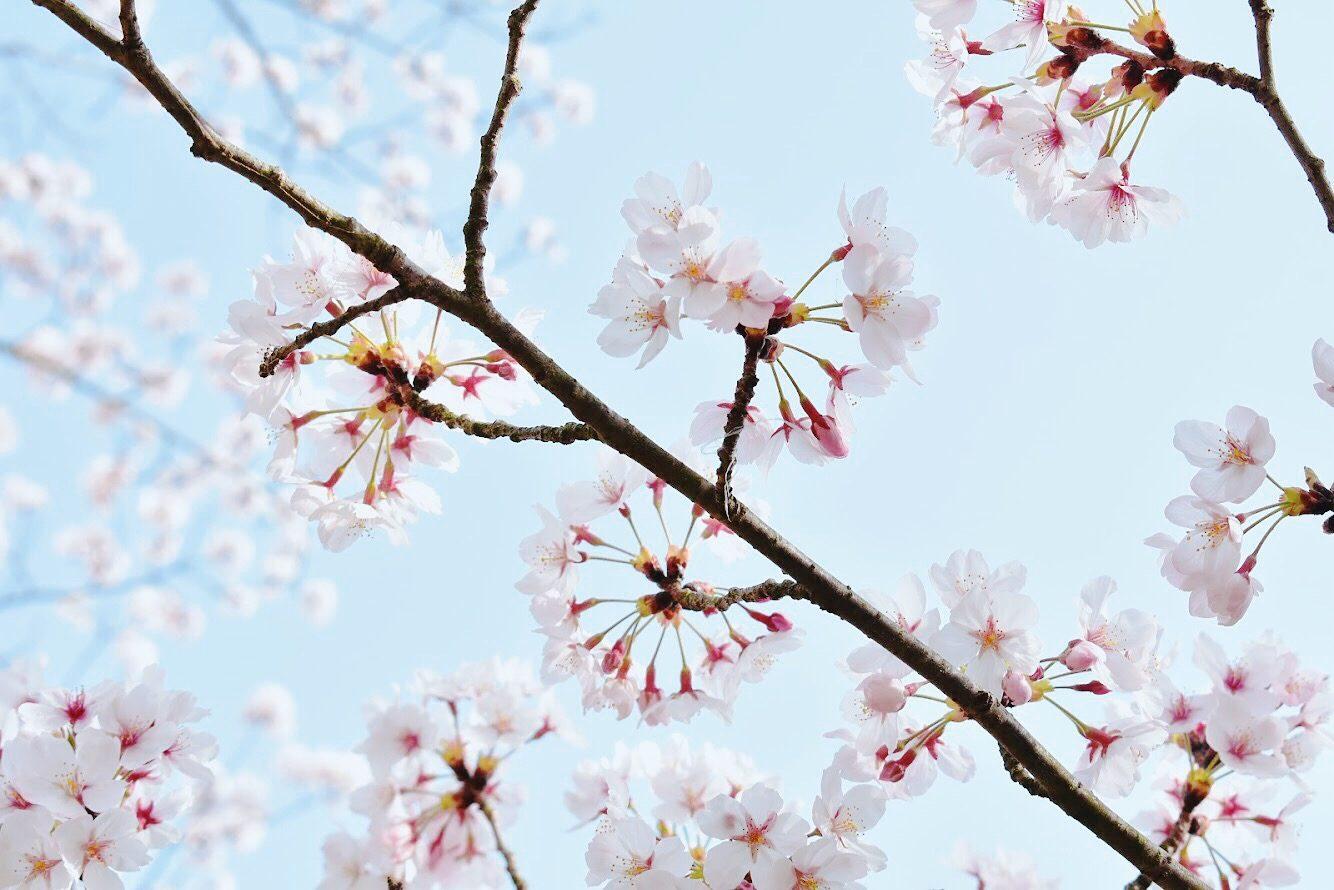 Dandelion Sakura at Awaji Island – Amy (Hai Anh Nguyen)