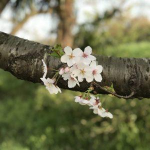 Sakura - Remy Martin