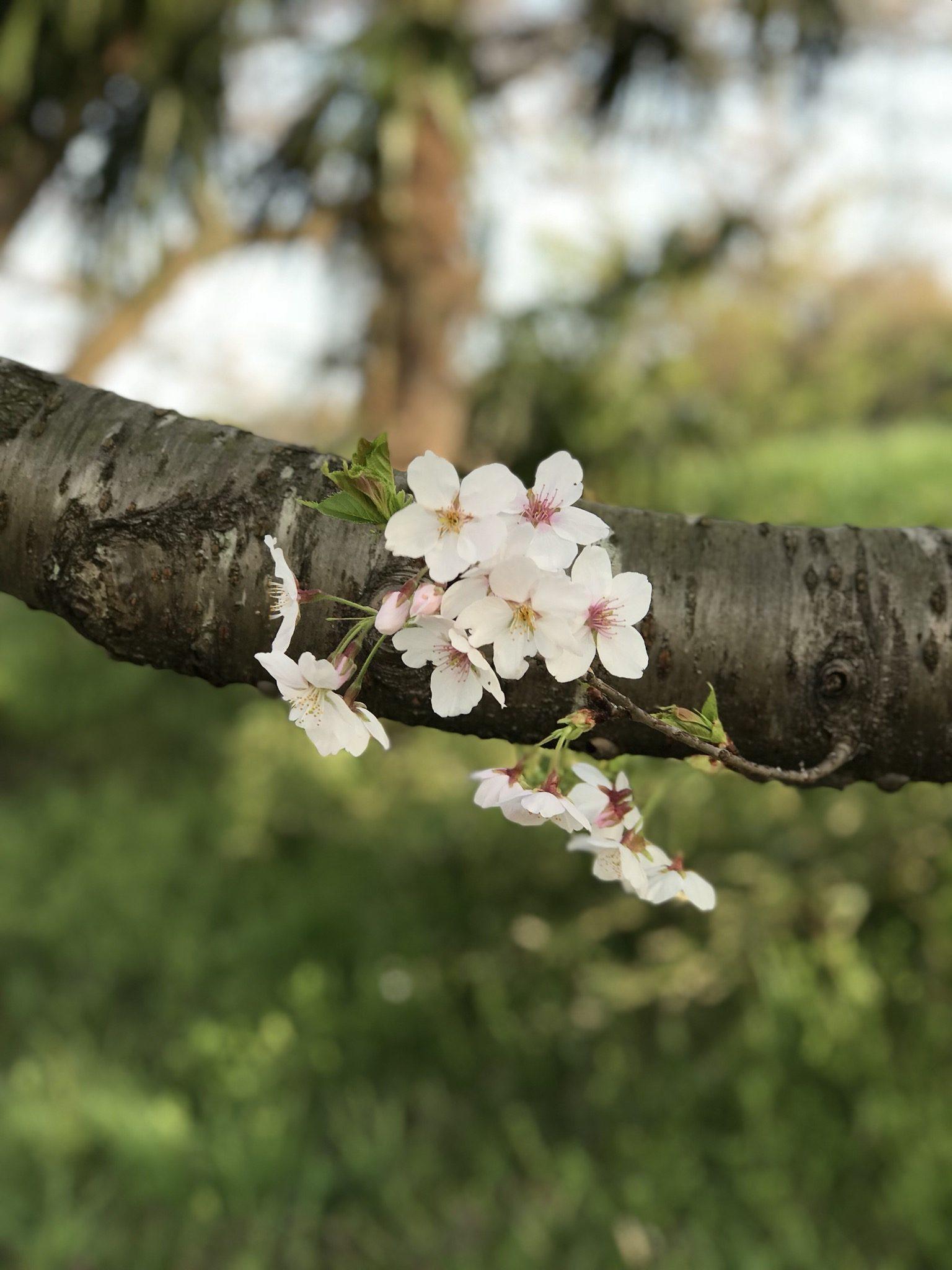 Sakura – Remy Martin