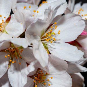 Sakura in macro - Kristofferson Macay Domingo