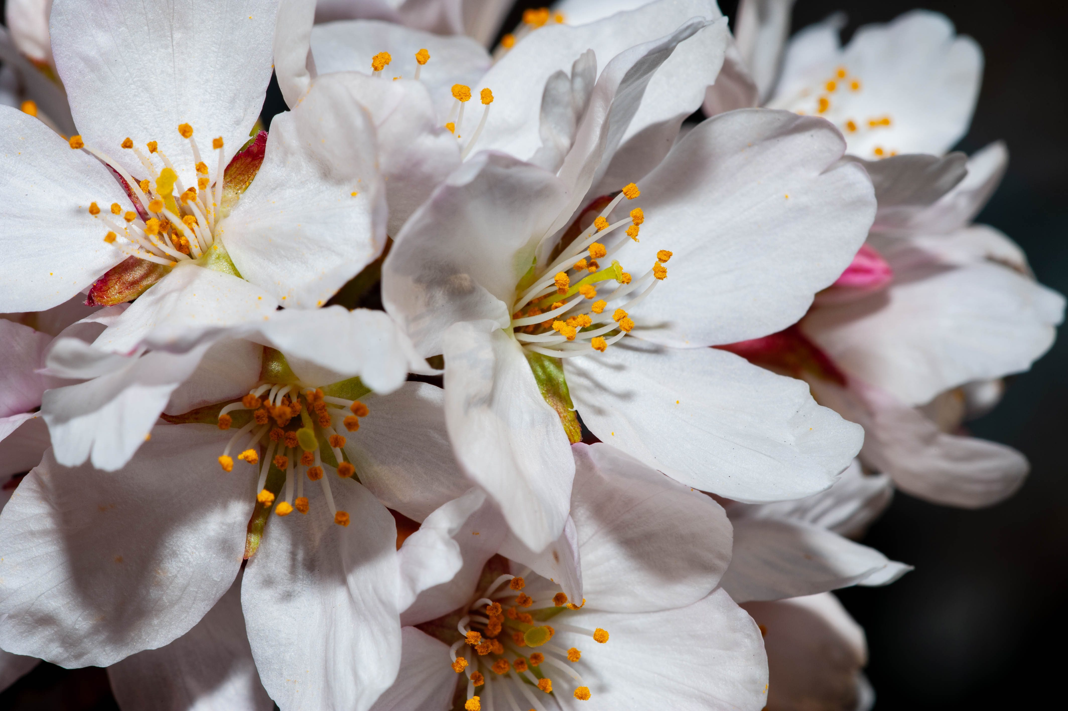 Sakura in macro – Kristofferson Macay Domingo