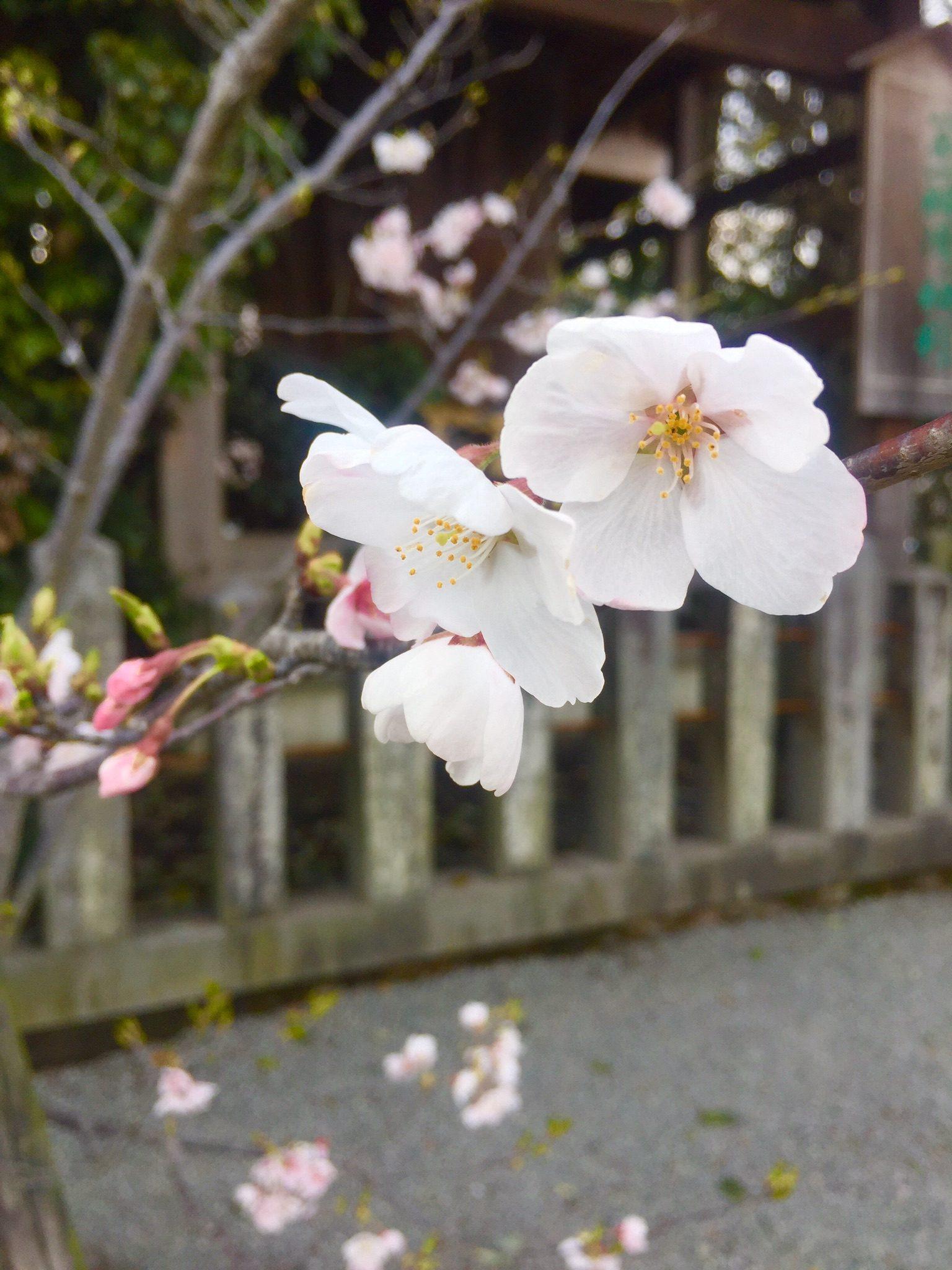 Shrine Sakura- Zaynab Nakhid