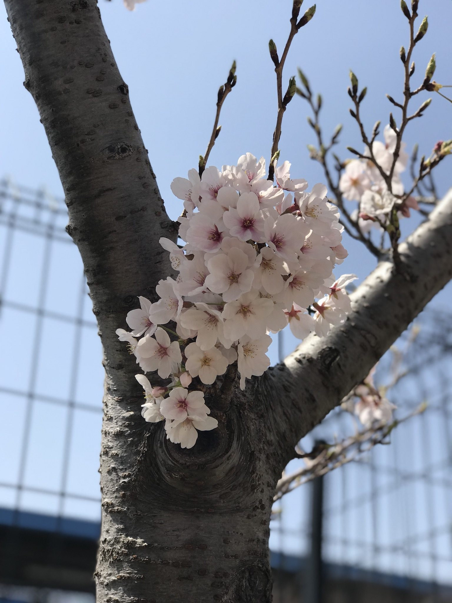 Bouquet of Sakura – Elsa Dela Cruz