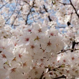 Sakura Machi Nagasaki - Ruth Requiero