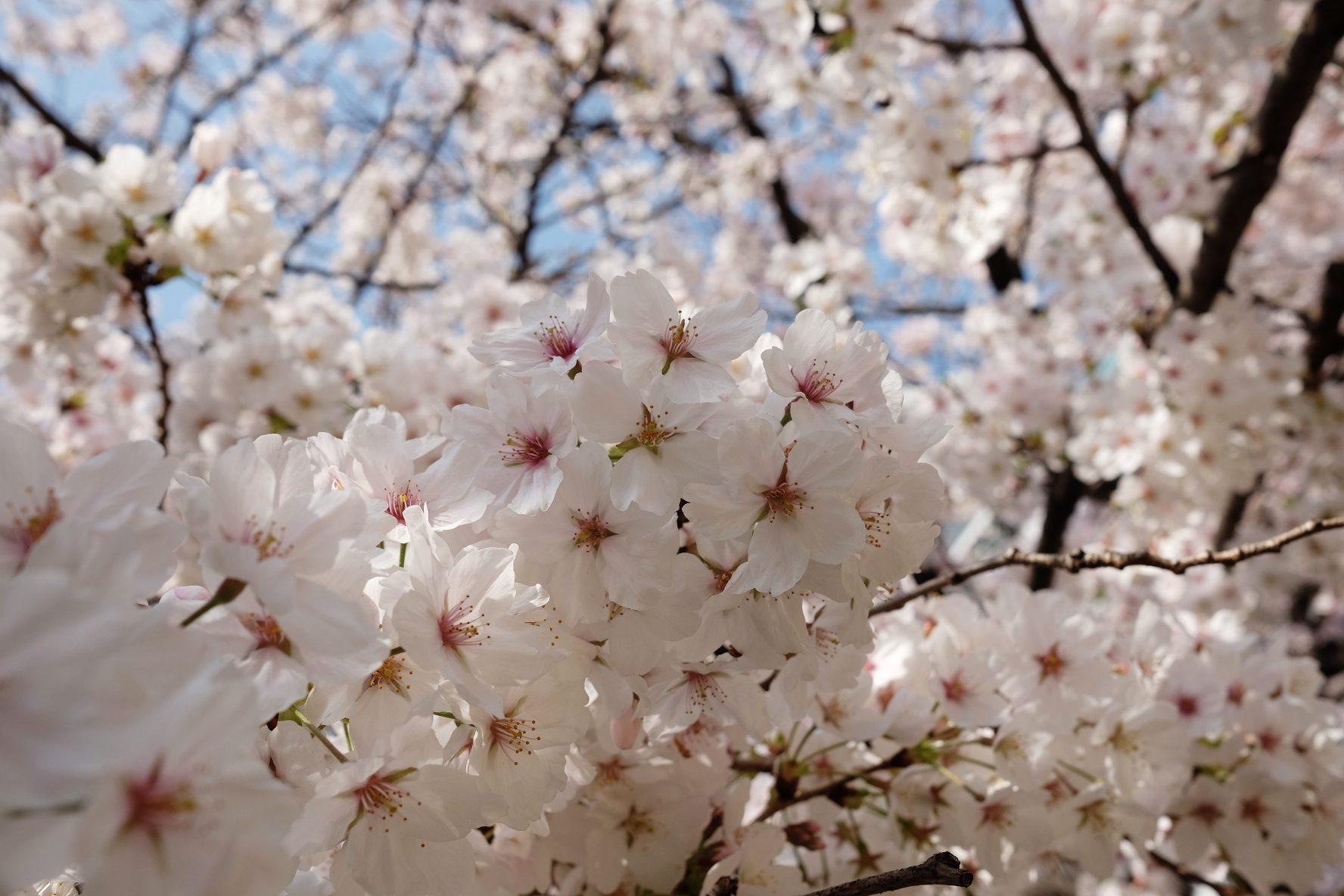 Sakura Machi Nagasaki – Ruth Requiero