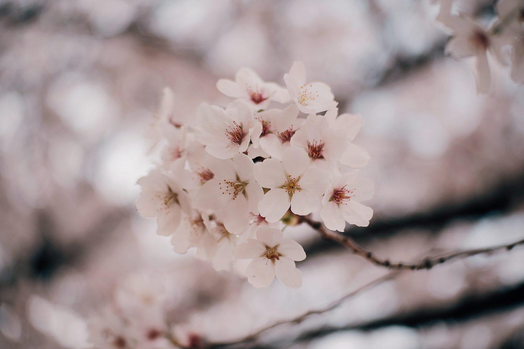 Sakura close encounter – Cedrick Instrella