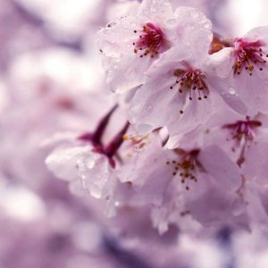 Enchanting Cherry Blossoms - Gladys Cohing