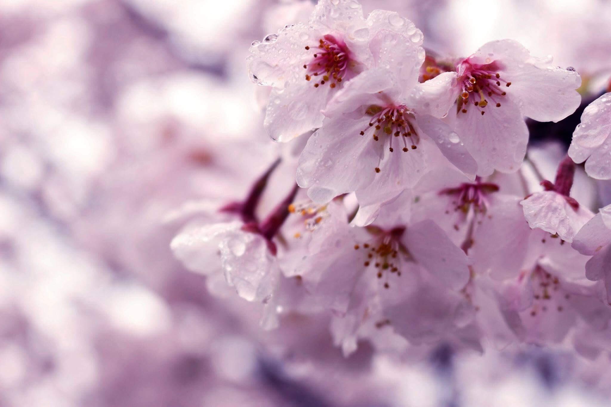 2019 Cherry Blossoms Forecast: From Kyushu to Hokkaido