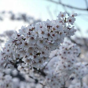 Beauty of Sakura - Fatima Bautista