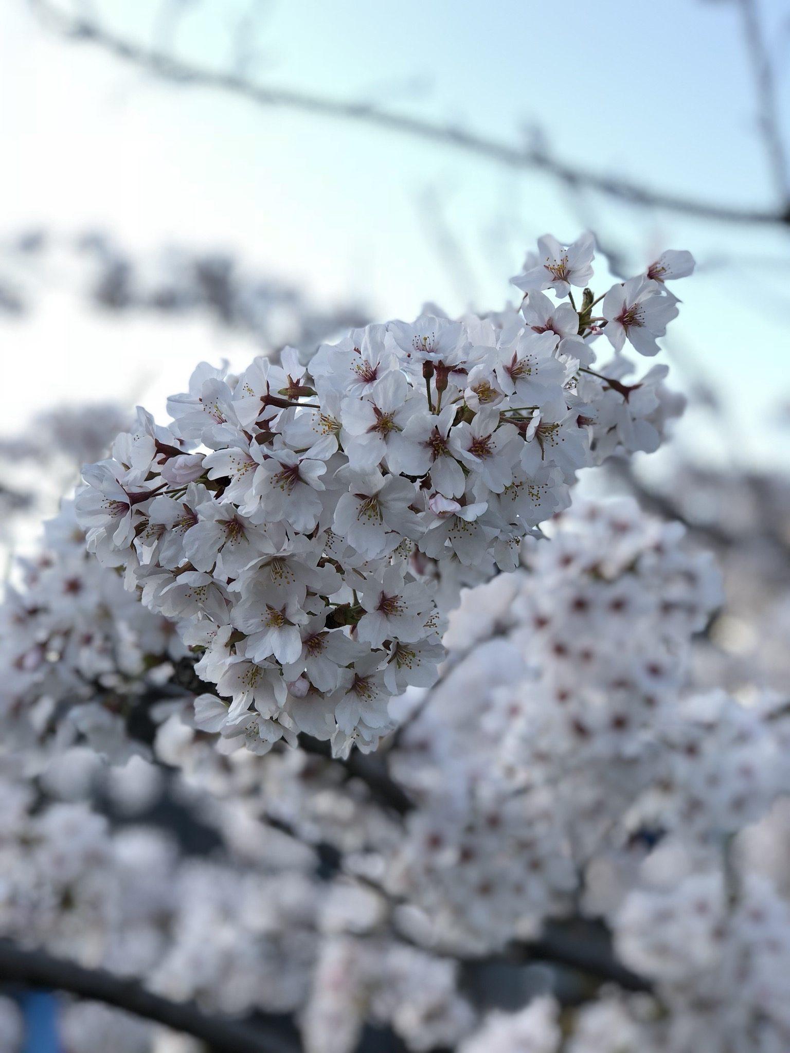 Beauty of Sakura – Fatima Bautista