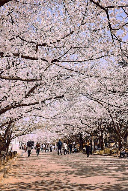 Sakura tunnel – Christine Annand