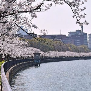 Cherry blossoms along the Yodo river - Christine Annand