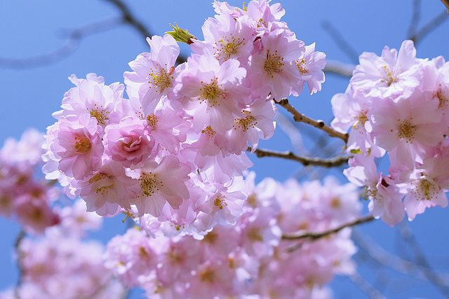 Pink Cherry Blossoms – Christine Annand