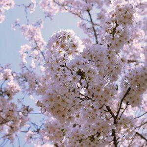 Osaka Sakura - Christine Annand