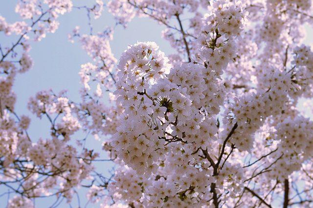 Osaka Sakura – Christine Annand