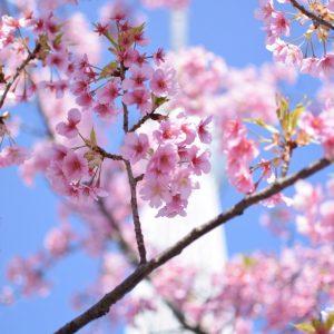 Sakura - Mike