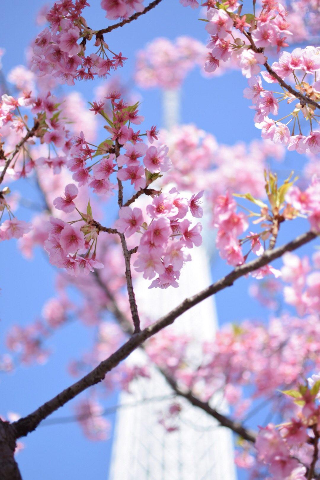 Sakura – Mike