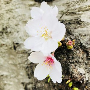 Sakura is ❤️- Christine Ishikawa