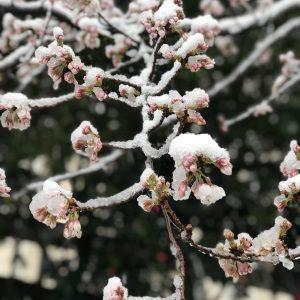 Sakura snow - Maria Arroyos
