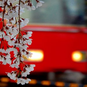 A train passing Sakura - Anoop