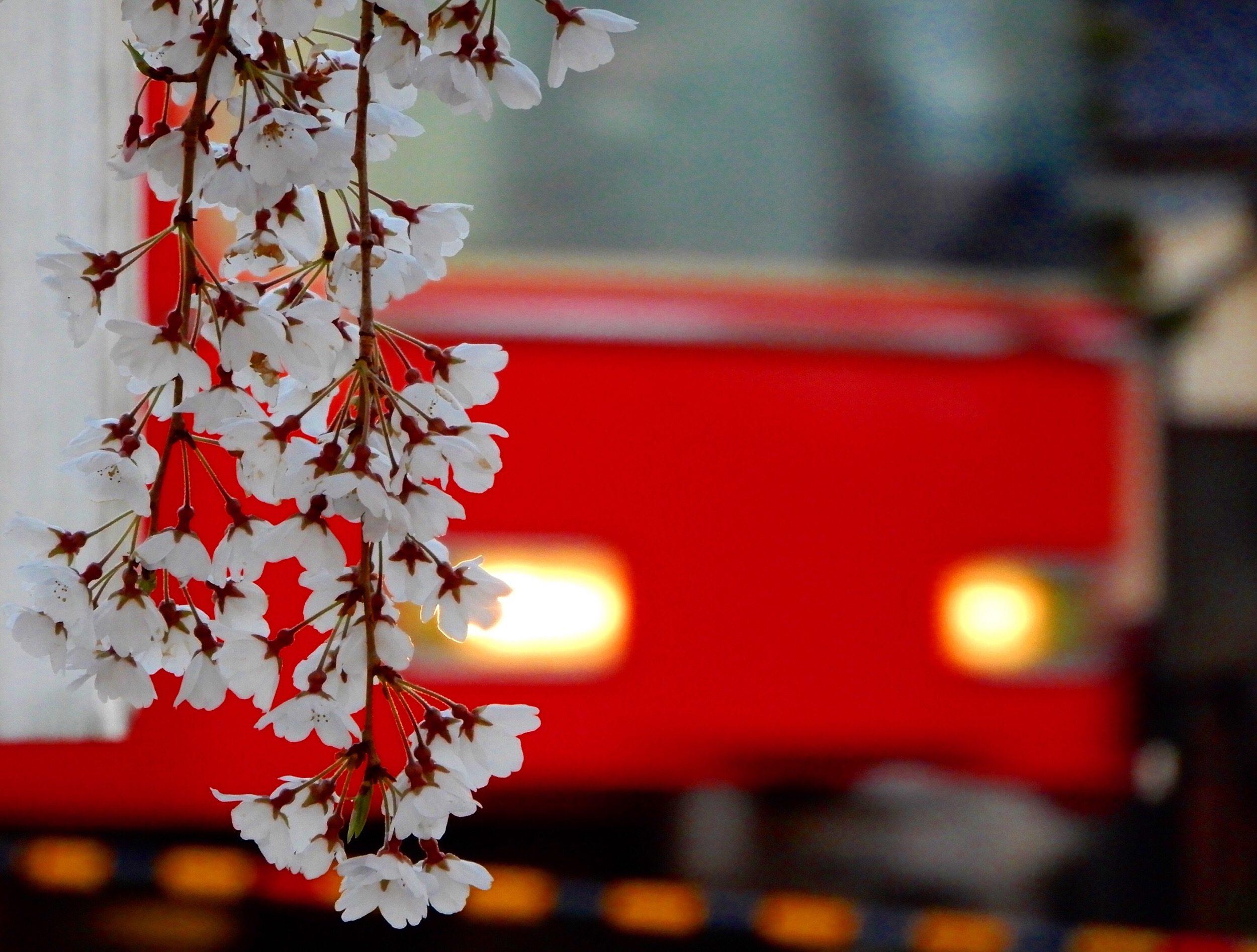 A train passing Sakura – Anoop