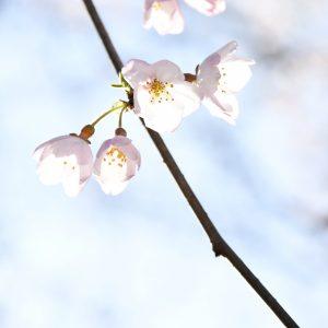 Sakura Twig - Huyo Ma. Theresa
