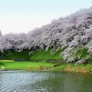 Sakura are bloom in Nagoya - Hashimoto Vanessa Yukimi