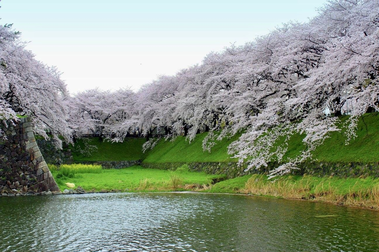 Sakura are bloom in Nagoya – Hashimoto Vanessa Yukimi