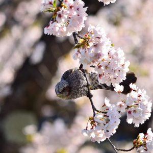 a bird in sakura - tatsunori hayakawa