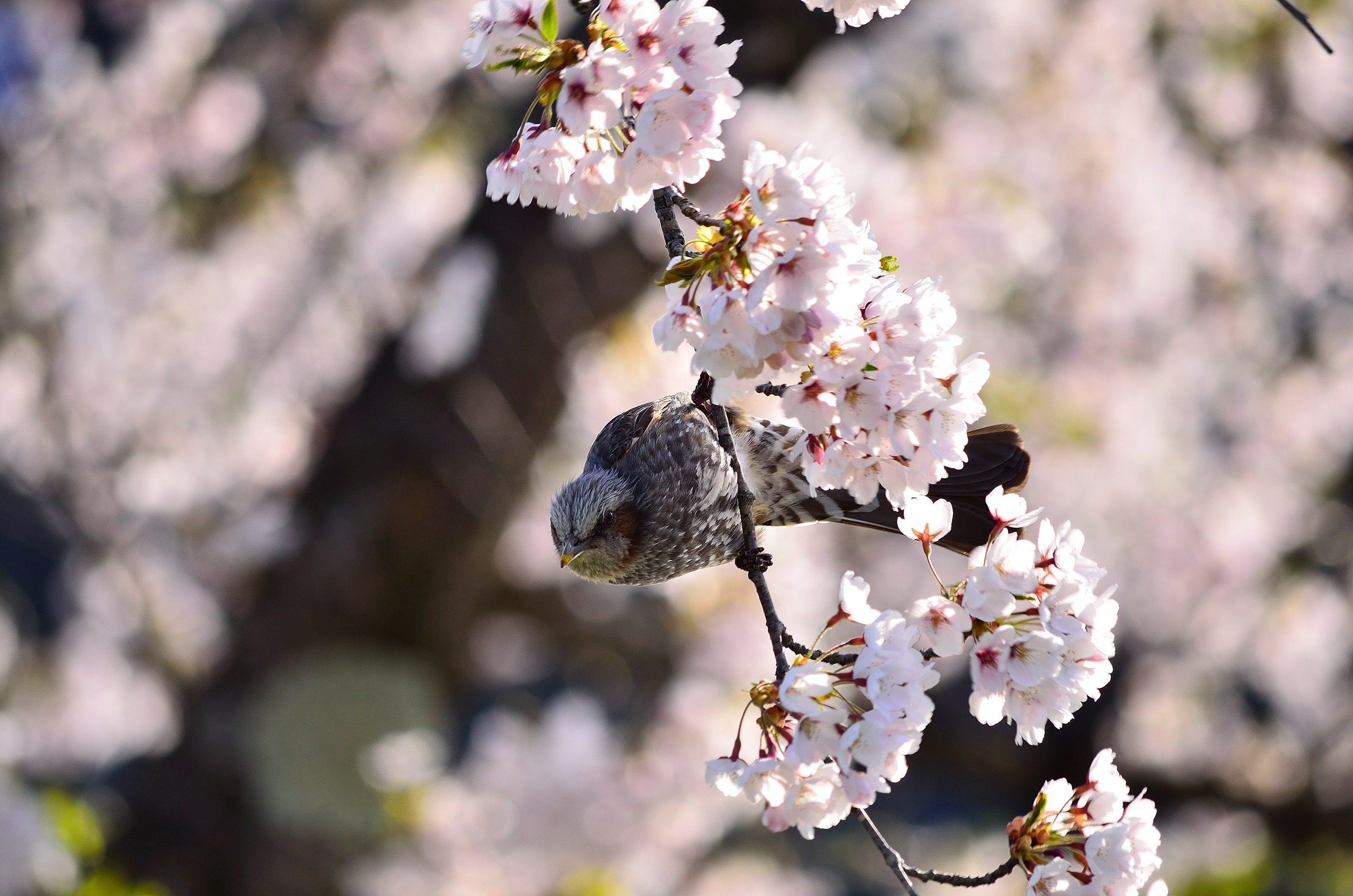 a bird in sakura – tatsunori hayakawa
