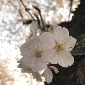 "My best shot photo ""sakura"" - KC Lyn Manoos"