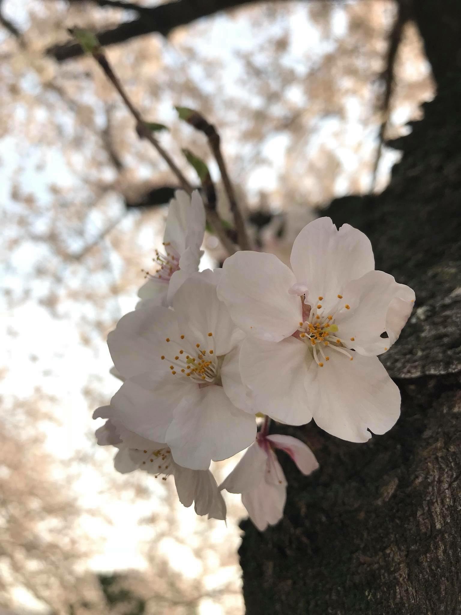 "My best shot photo ""sakura"" – KC Lyn Manoos"