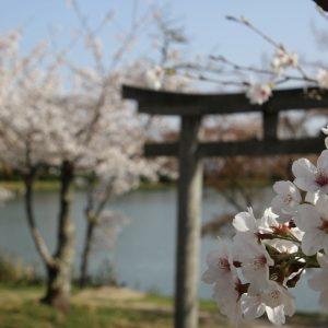 Sakura and Torii - Mariam Inaba
