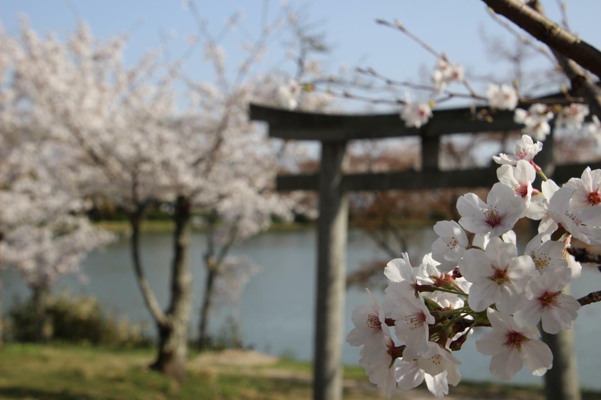 Sakura and Torii – Mariam Inaba