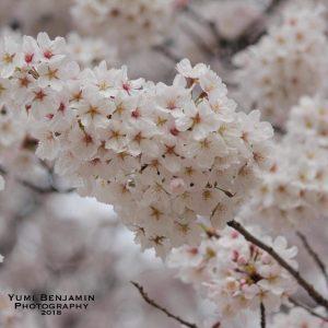 桜 - Yumi
