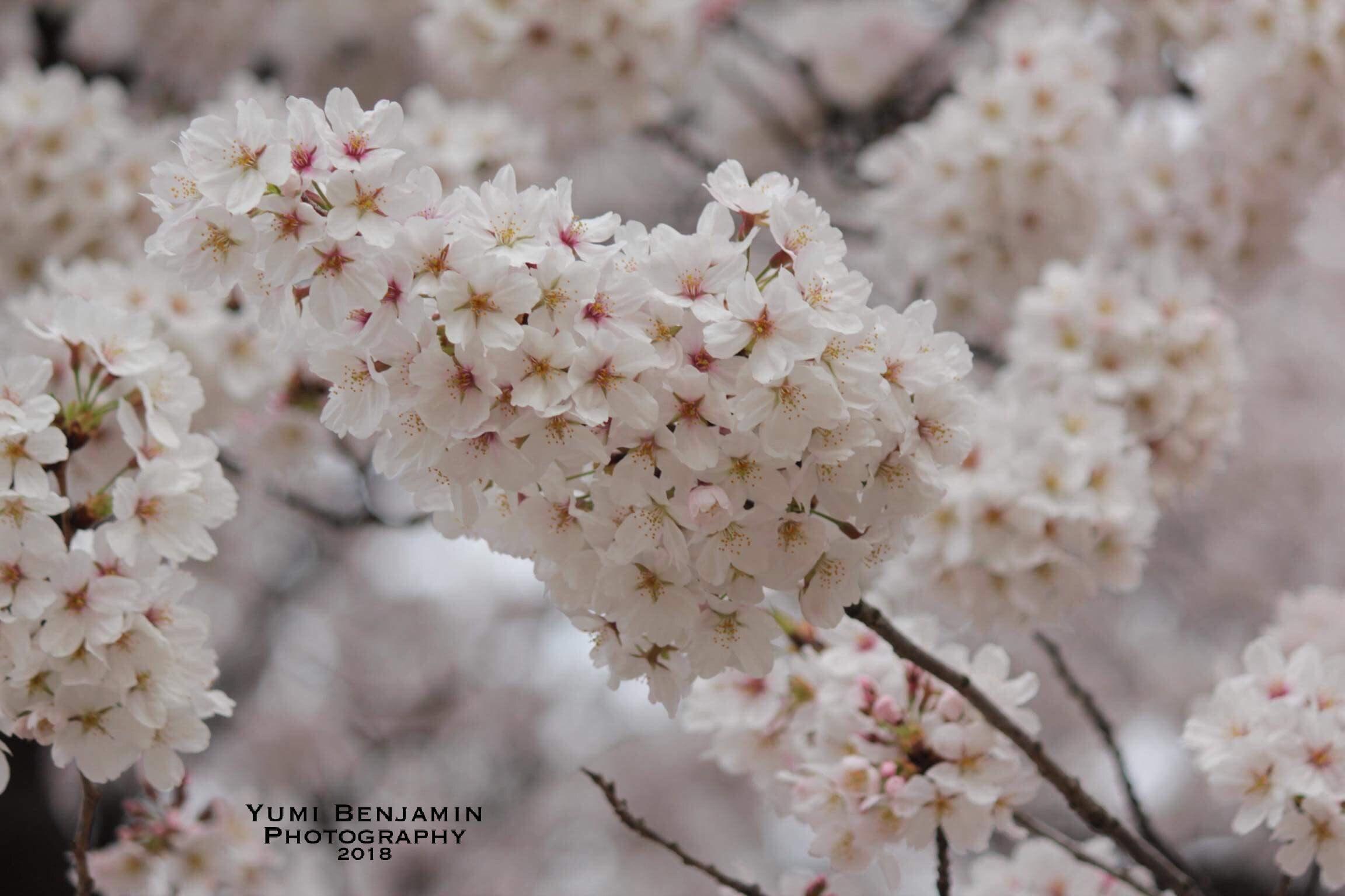桜 – Yumi