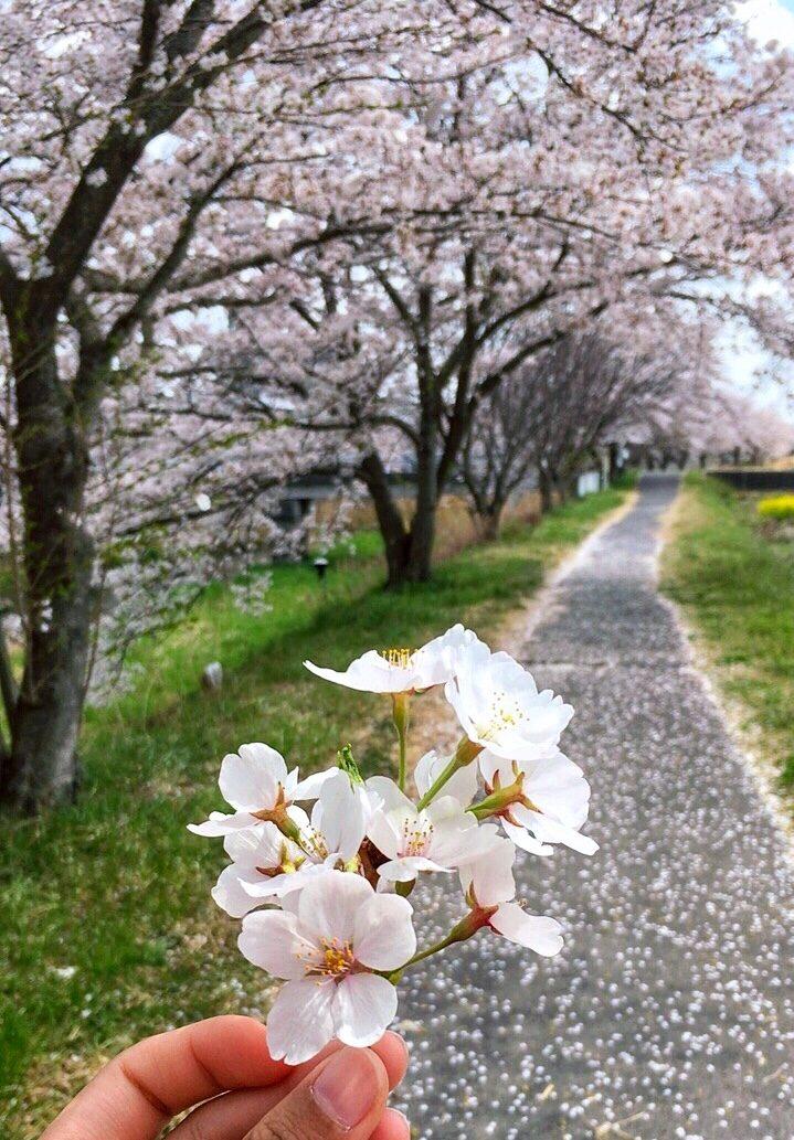 When it is blooming.. – Shin Honjo