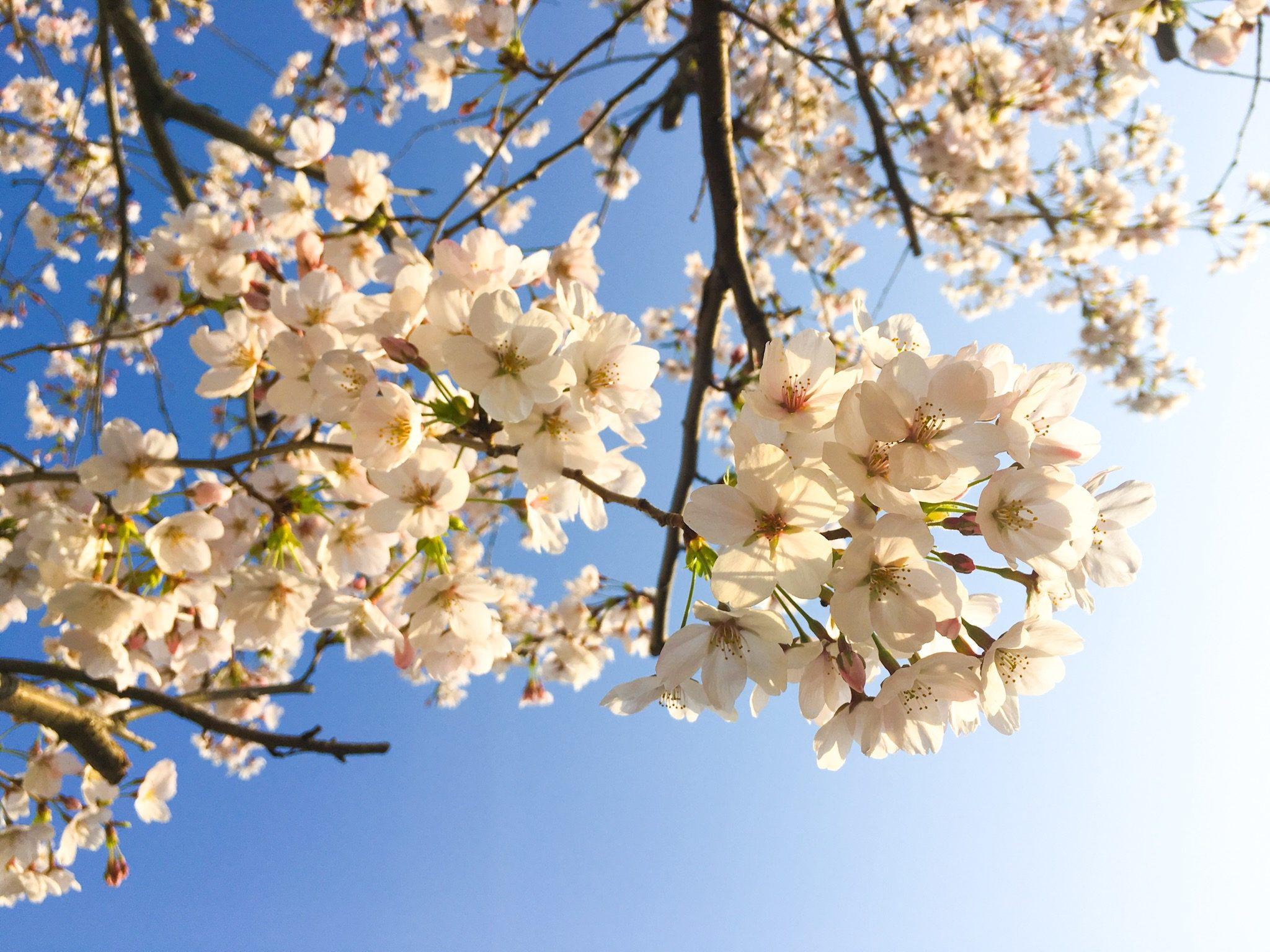 Sakura – Ana Lúcia Massako Ueda