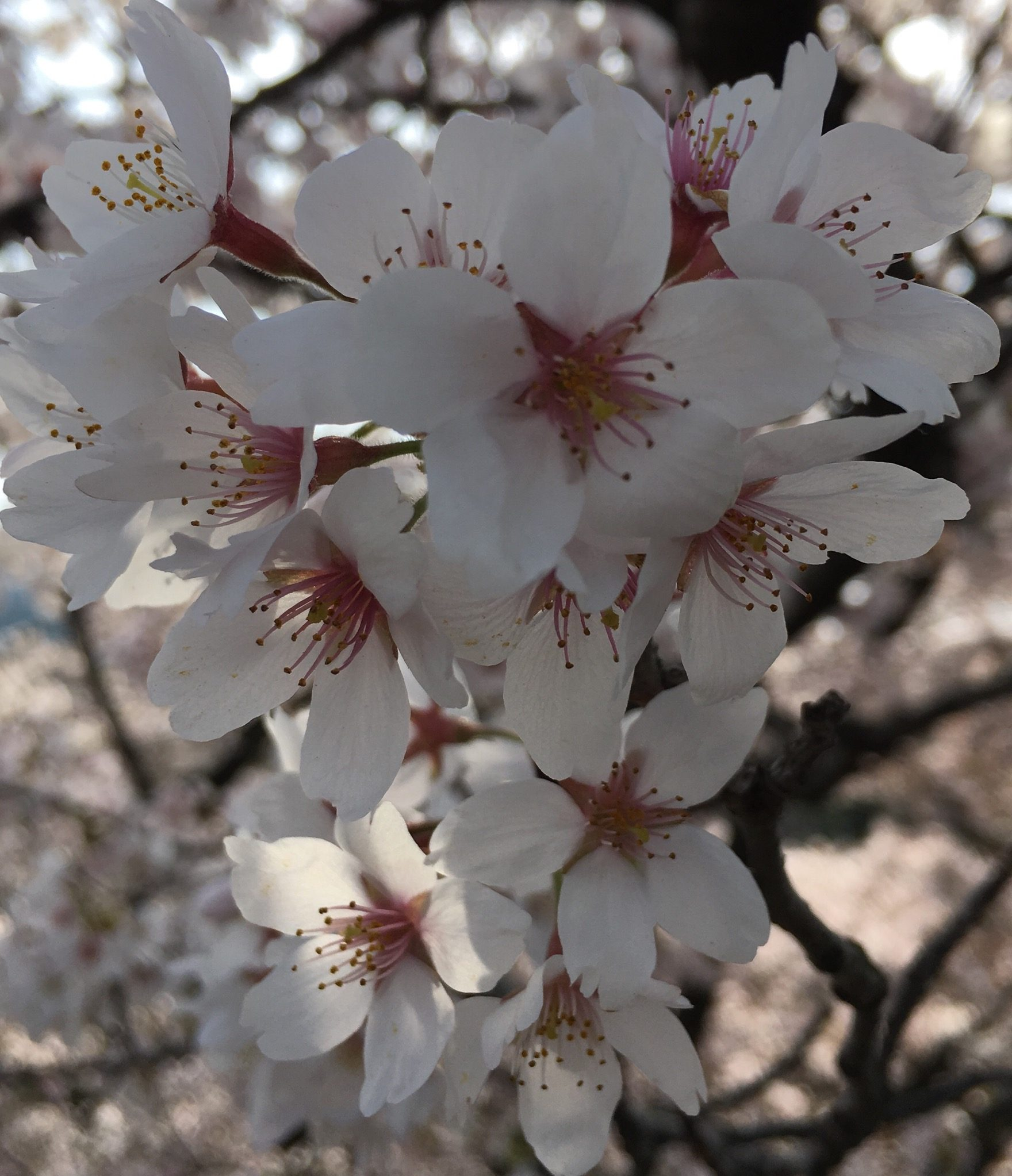 Beauty of Sakura in Kyoto – Lydia Clemens