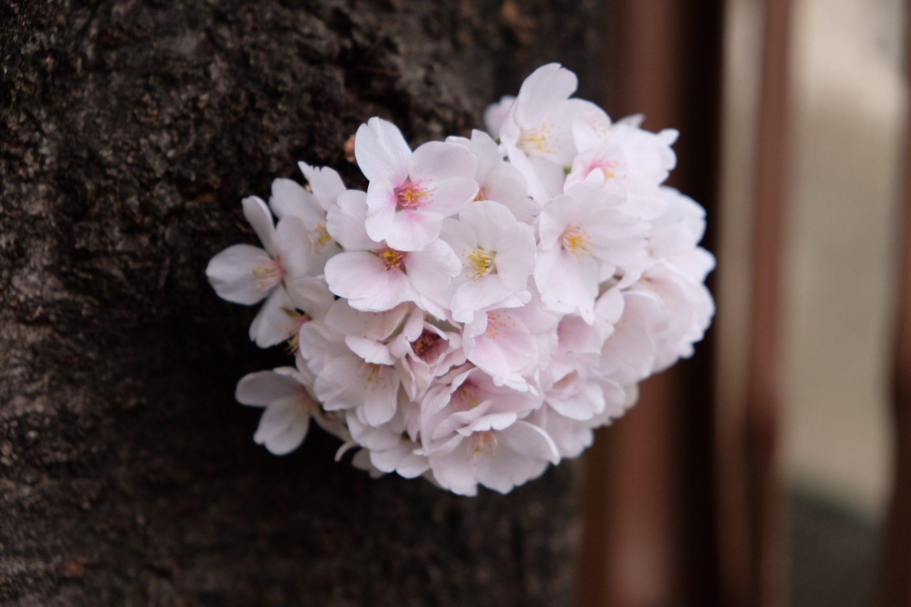 bouquet of sakura – Jynxzzo