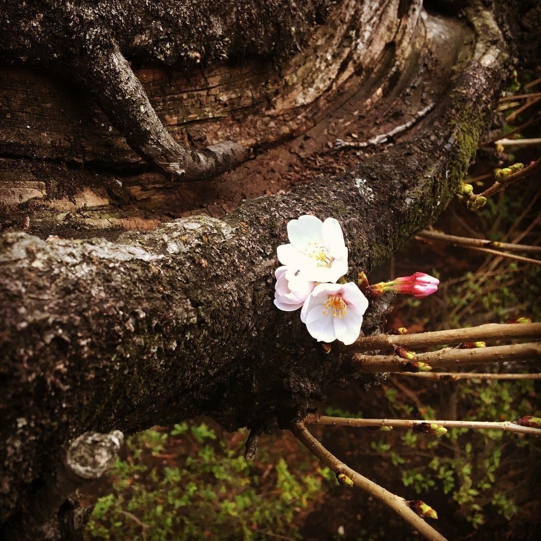 First Bloom – Phillip Simon