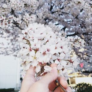 Sakura in my hands - Aika Shimizu