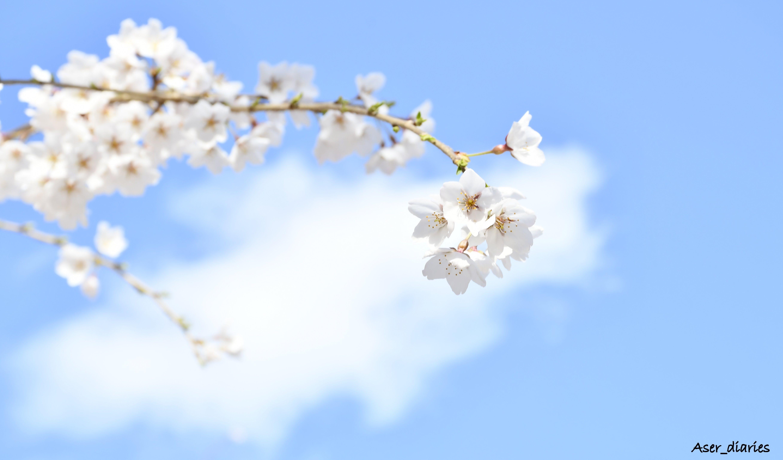青い空: Sakura in the Sky – Huyo Ma. Theresa