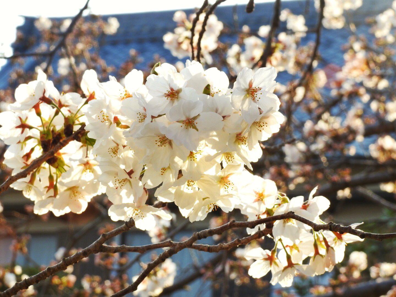 flower of Spring – homar kip f. benolirao