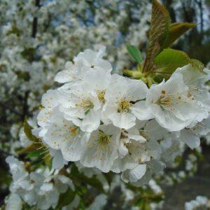 A little Universe of Sakura - Moreno Cocchietto