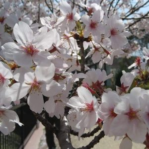 The wondrous beauty of Sakura - Emelda Manalastas